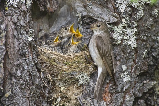 Stock Photo: 4401R-10824 Flycatcher and hungry young birds, Norway.