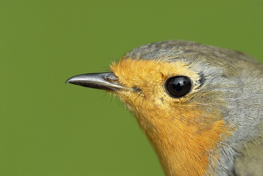 Stock Photo: 4401R-10948 Flycatcher, close-up