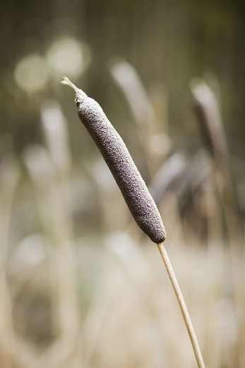 Scandinavian Peninsula, Sweden, Skåne, View of bulrush plant, close-up : Stock Photo