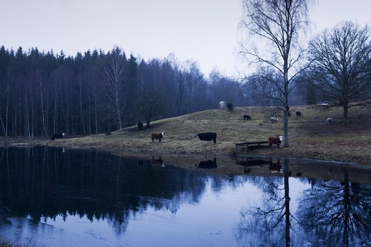 Stock Photo: 4401R-11148 Scandinavian Peninsula, Sweden, Skåne, View of cows by lake