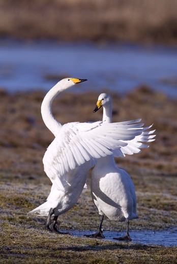 Stock Photo: 4401R-1118 Two whooper swans embrace eachother, Narke, Sweden.