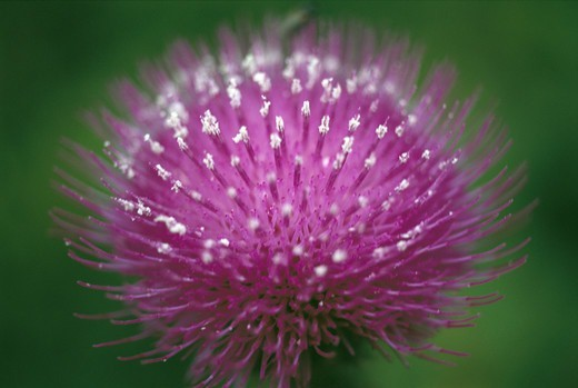 Stock Photo: 4401R-1126 Purple thistle flower, close-up, Sweden.