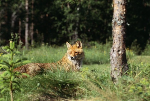 Fox in forest : Stock Photo