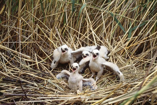 Young birds in nest : Stock Photo