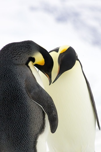 Stock Photo: 4401R-1150 Emperor penguins, the Antarctic.