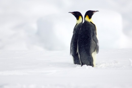Stock Photo: 4401R-1155 Emperor penguins, the Antarctic.