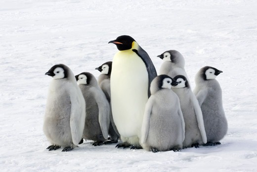 Emperor penguin with children, the Antarctic. : Stock Photo