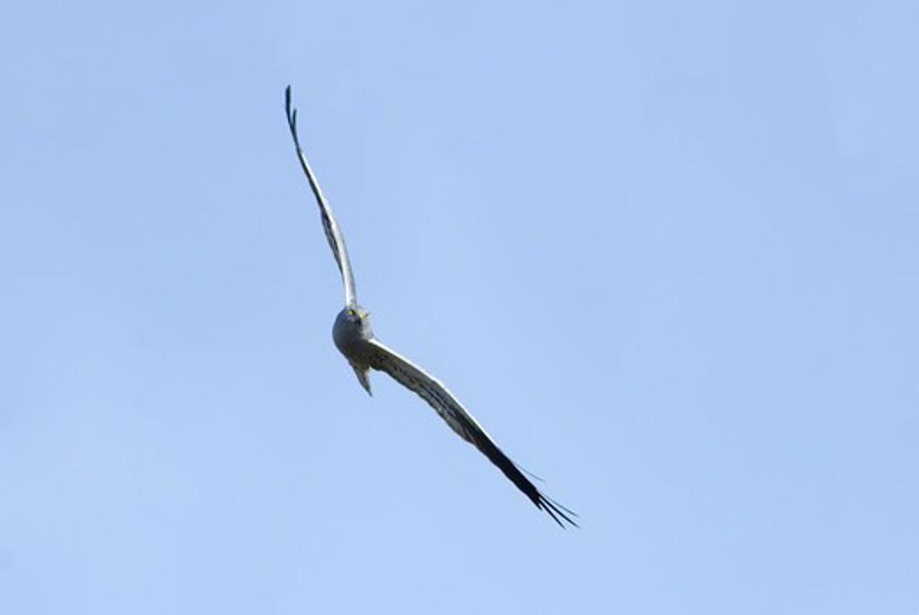 Scandinavia, Sweden, Oland, Montagus harrier flying in sky : Stock Photo