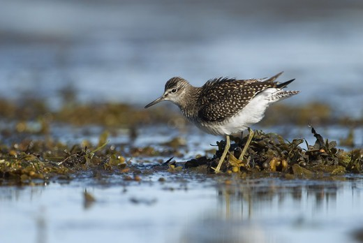 Scandinavia, Sweden, Oland, Wood sandpiper bird standing in water, close-up : Stock Photo