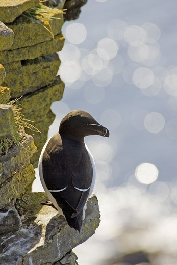 Razor-billed auk sitting on cliff by the sea, Iceland. : Stock Photo