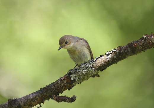 Stock Photo: 4401R-11990 Flycatcher perching on branch