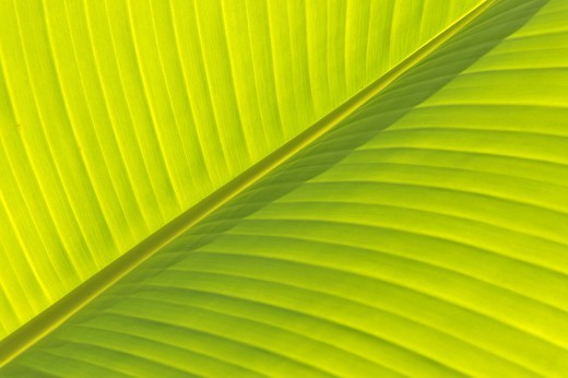 Stock Photo: 4401R-12013 Madeira, Detail of banana leaf, close-up (full frame)