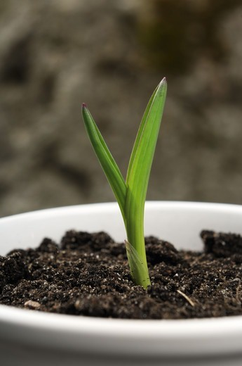 Scandinavia, Sweden, View of seedling, close-up : Stock Photo