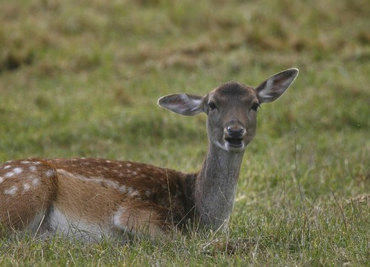 Stock Photo: 4401R-12254 Female deer