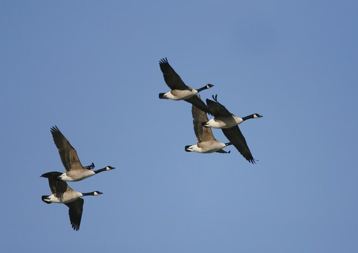 Flying Canada goose (Branta canadensis) : Stock Photo