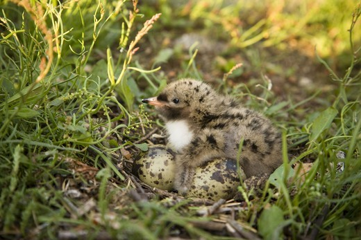 Young tern with eggs on grass : Stock Photo
