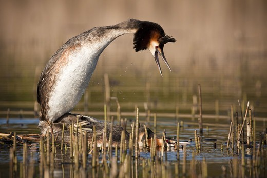 Stock Photo: 4401R-12528 Great crested grebe mating in pond