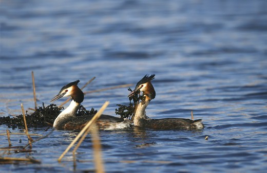 Stock Photo: 4401R-12597 Two birds swimming in water