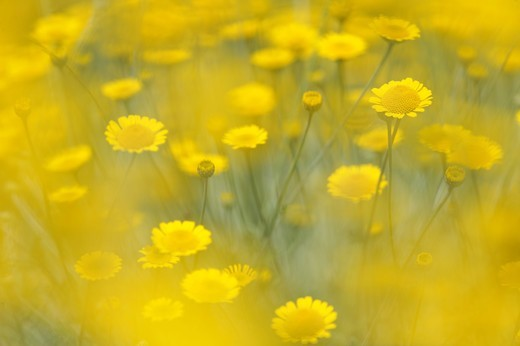 Stock Photo: 4401R-12665 Scandinavia, Sweden, Vastergotland, Yellow flowers in garden