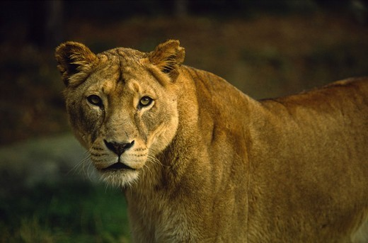 Stock Photo: 4401R-12746 Close-up of lion in zoo