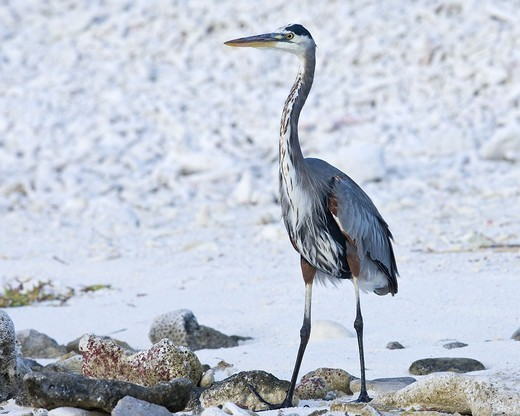 Stock Photo: 4401R-12883 Great blue heron standing in snow