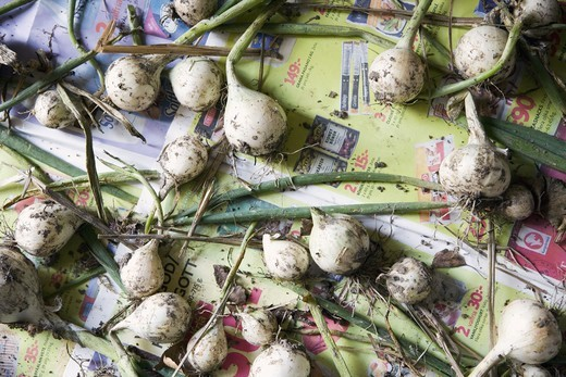 Spring onions drying on old newspapers : Stock Photo