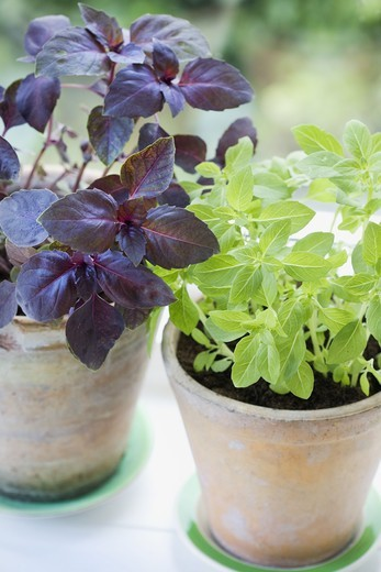 Herbs in terracotta flower pots : Stock Photo