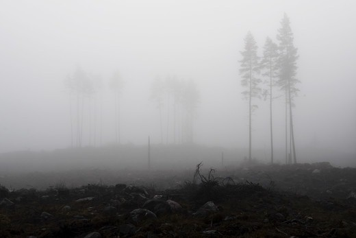 Stock Photo: 4401R-13202 Trees in thick fog