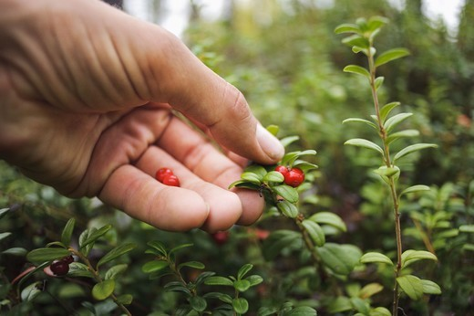 Stock Photo: 4401R-13207 Hand picking up cowberries