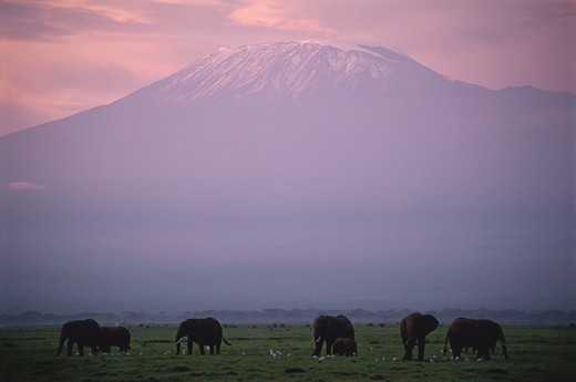 African Elephant, Loxodonta africana, Amboseli N.P. Kenya under Mount Kilimanjaro after sunset. : Stock Photo