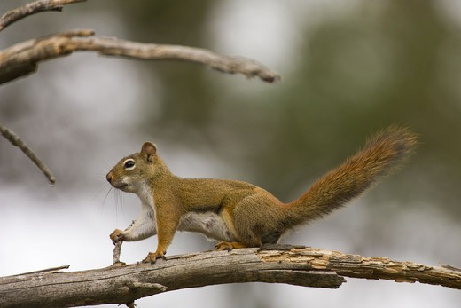 Stock Photo: 4401R-13594 Close-up of squirrel standing on branch