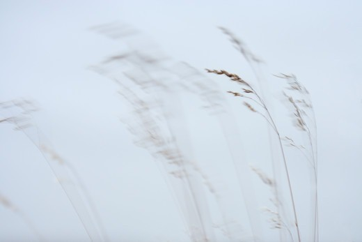 Grass in the wind, Sweden. : Stock Photo