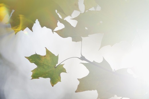 Stock Photo: 4401R-13954 Maple leaves