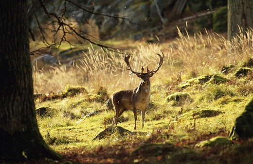 Stock Photo: 4401R-1933 Stag standing on grass