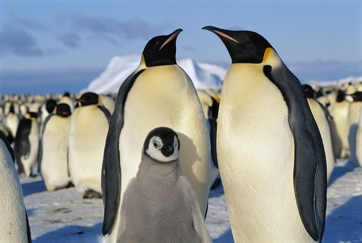 Stock Photo: 4401R-2161 Penguins, close-up