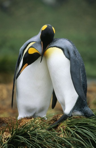 Stock Photo: 4401R-2168 Penguins standing together