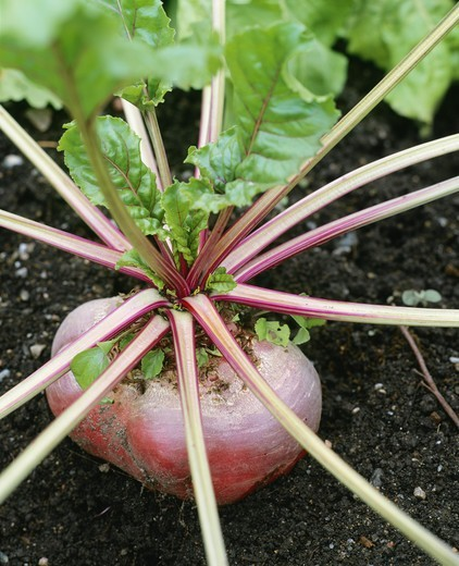 Stems emerging from beetroot : Stock Photo