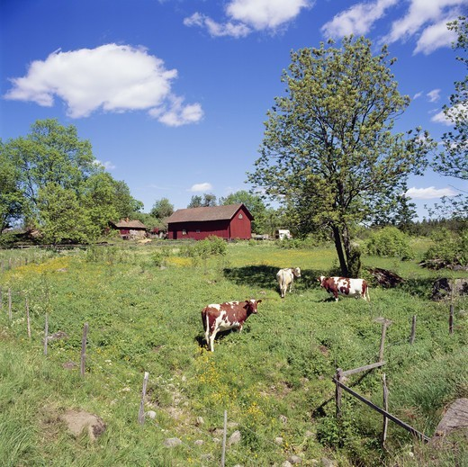 Stock Photo: 4401R-2605 Cows grazing in field