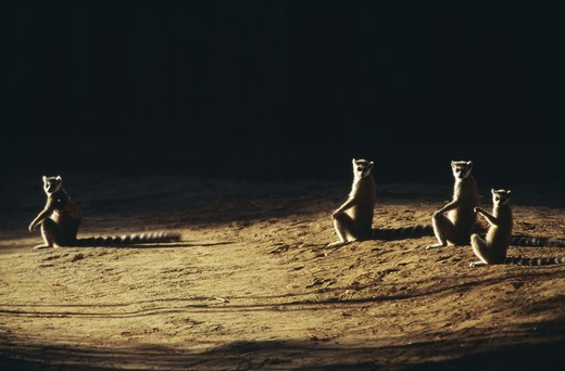 Stock Photo: 4401R-2725 Lemurs sitting on ground at night