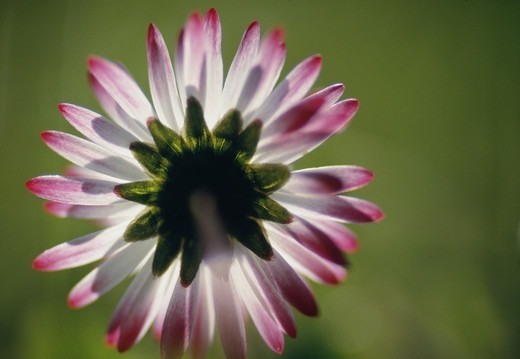Stock Photo: 4401R-3016 Flower, close-up