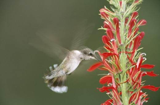 Humming bird feeding on nectar : Stock Photo