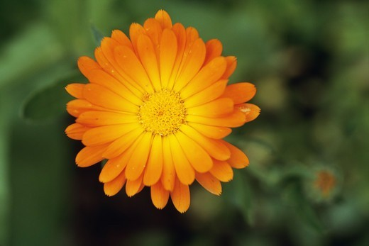 Stock Photo: 4401R-3097 Orange daisy, close-up