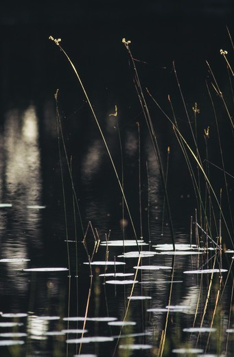 Stock Photo: 4401R-3103 Stalks in lake