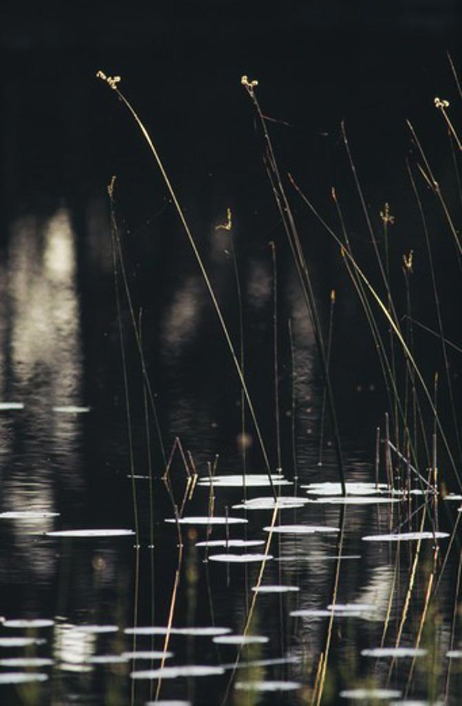 Stalks in lake : Stock Photo