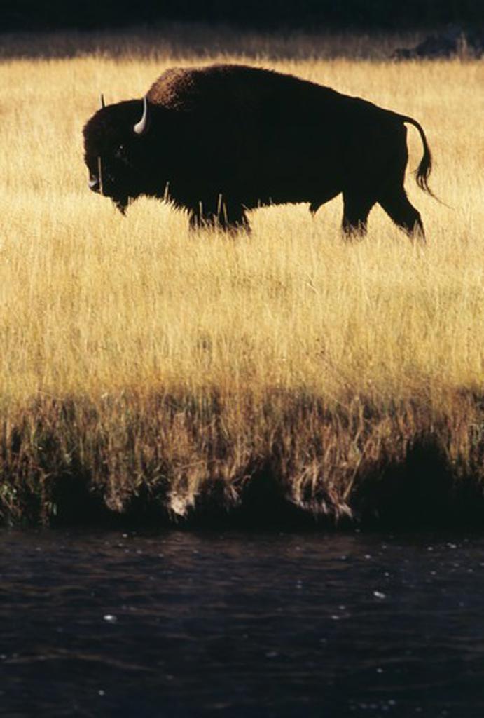 Yak grazing on grassland : Stock Photo