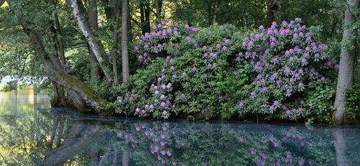Stock Photo: 4401R-3448 Rhododendron shrub at pond.