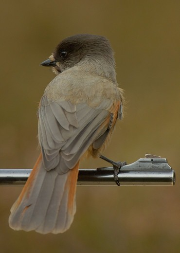 Stock Photo: 4401R-3530 Siberian jay in Old growth forest, on a rifle