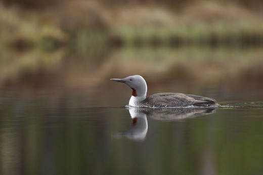 Red-throated Diver taking off : Stock Photo