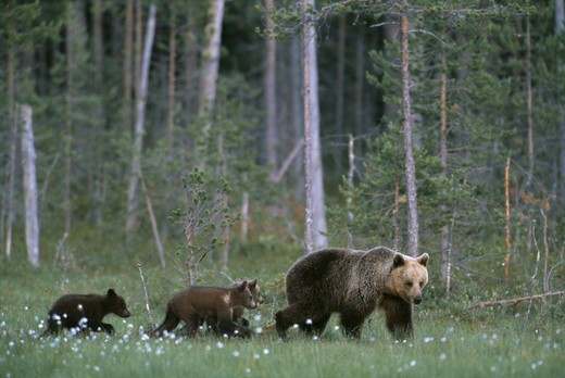 Brown bear family, mother with three yearling cubs : Stock Photo