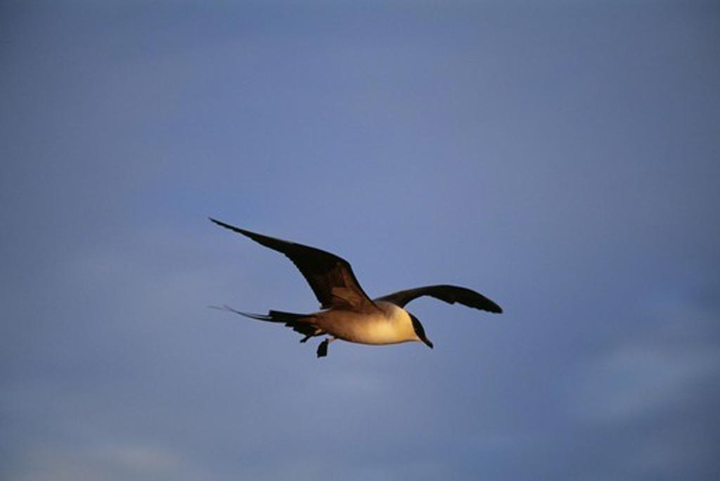 Stock Photo: 4401R-3740 Long-tailed Skua.
